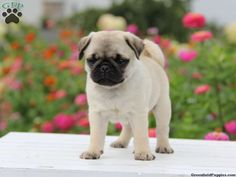 pugs and its types